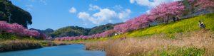みなみの桜と菜の花まつり(河津桜)